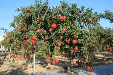 Pomegranates Farm In Israel Design The Pomegranate Trees