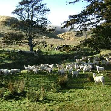 Real farming experience on Millstone sheep and beef farm, Pahiatua