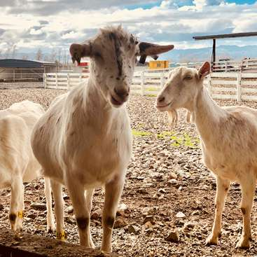 Help out with family life on a goat farm near Te Aroha, New