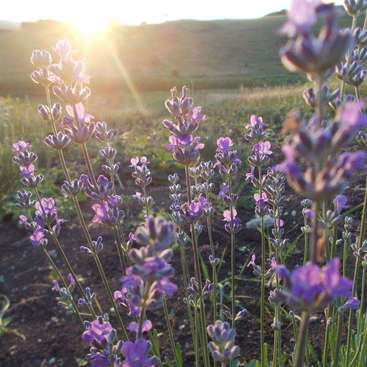 Help on a lavender farm in the beautiful countryside of Kalotaszeg