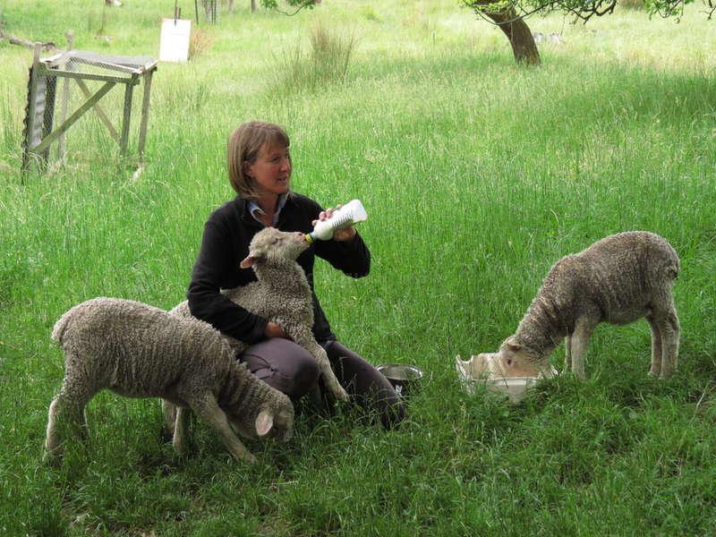 High Country merino sheep farmstay - Marlborough, New Zealand