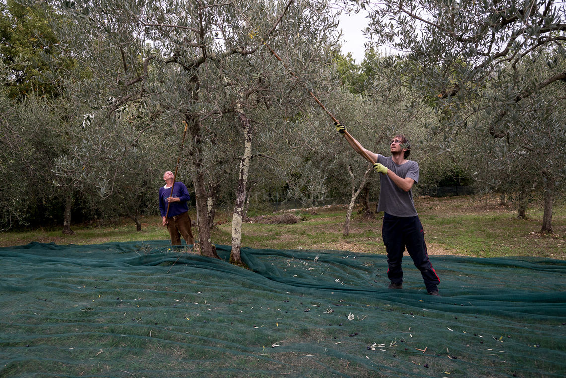 workawayers picking olives