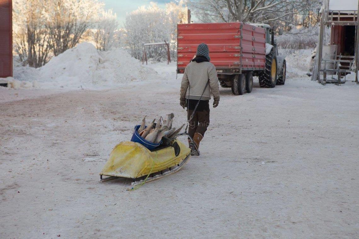 workawayer transporting salmon