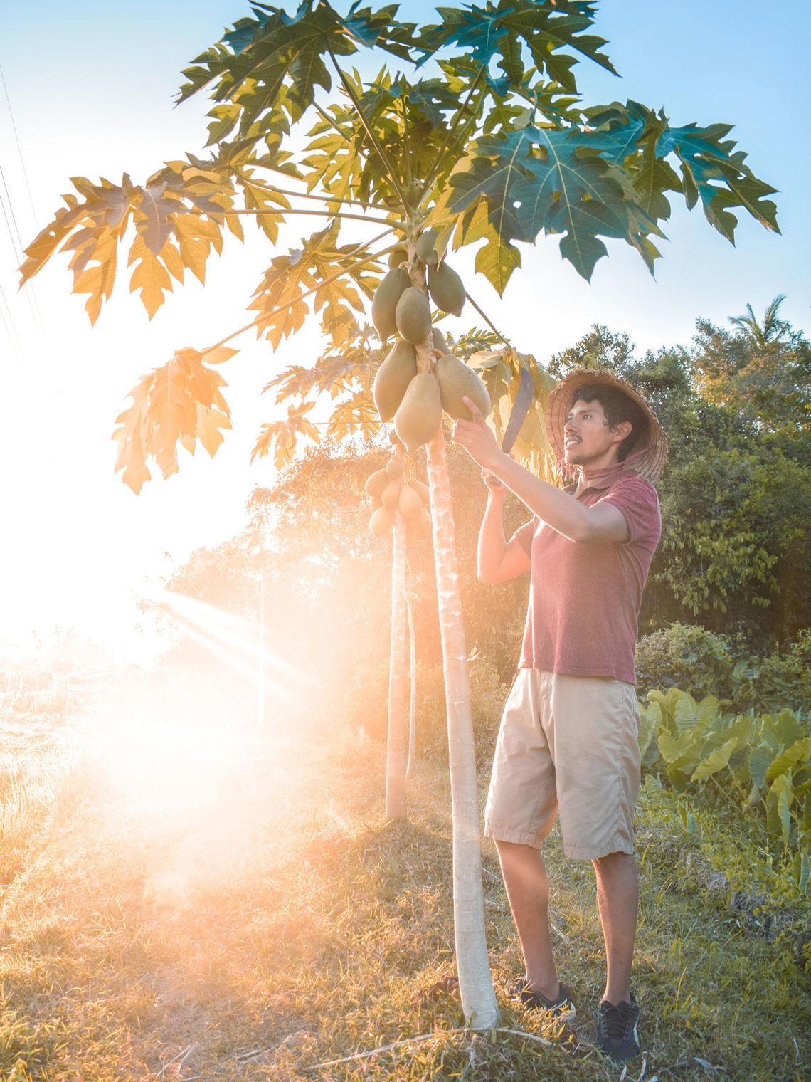 traveller-picking-papaya-fruit-tree