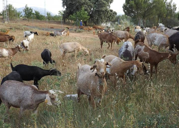 goats in Pizarra