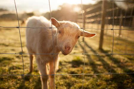 mac goat highlang scottish farm volunteer experience