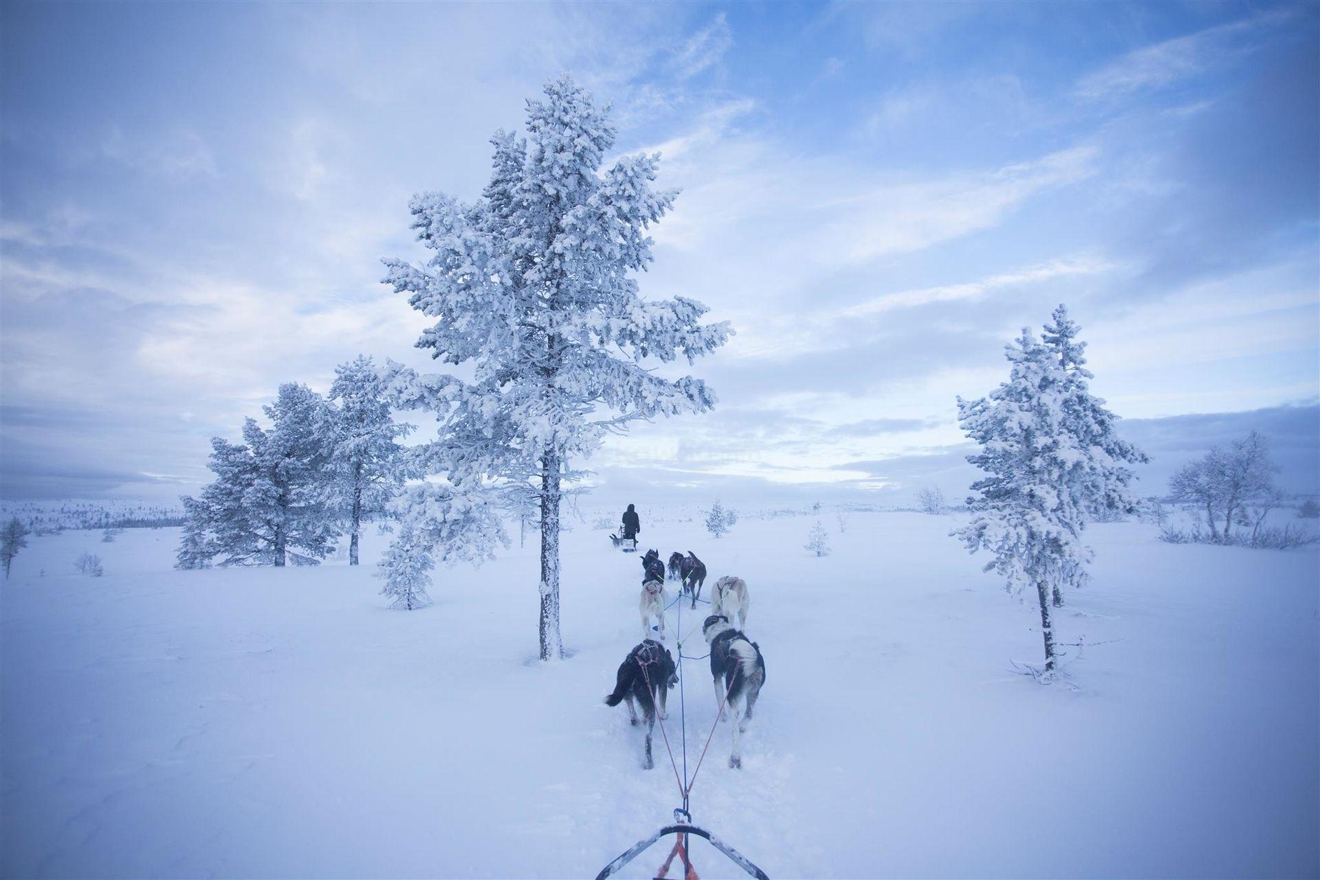 husky sledding across snow and trees