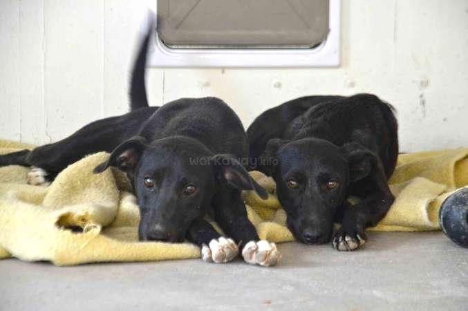 two black puppies animal rescue sleepy