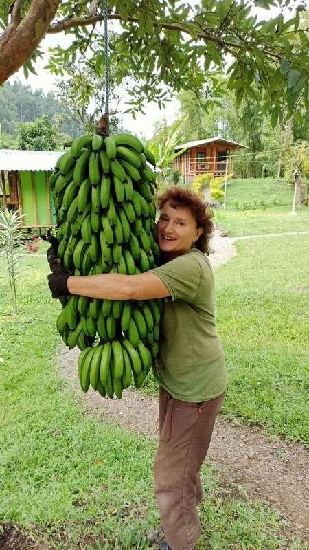 workaway banana harvesting Gisela