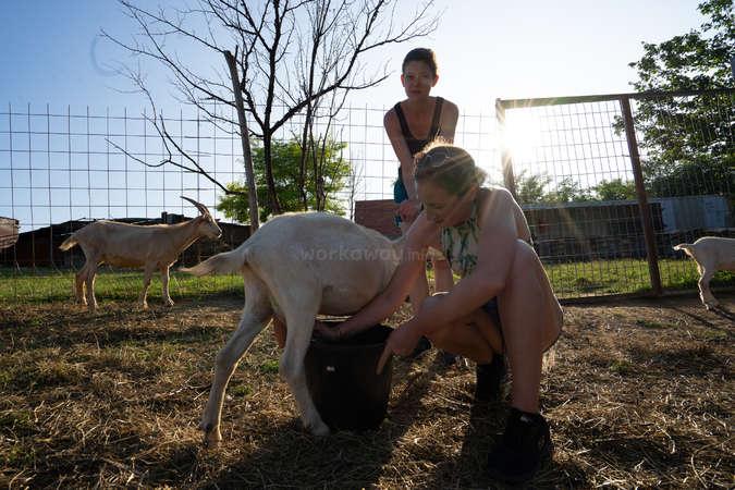 workaway girls milking ranch goats