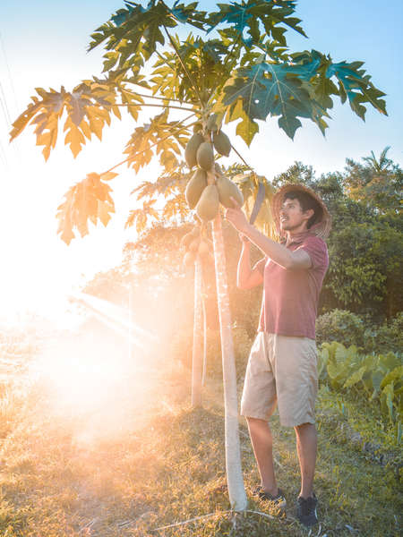solo workaway traveller picking papayas against sunset