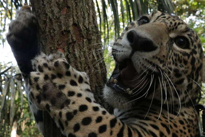 rescued wildlife jaguar back in nature hugging tree