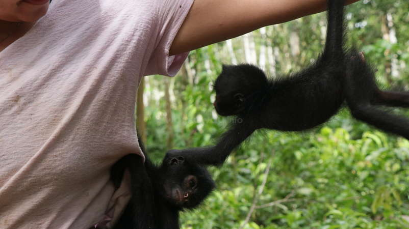 baby monkeys climbing on workawayer volunteer