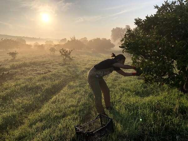 morning harvest workawayer picking tangerines on grassy field