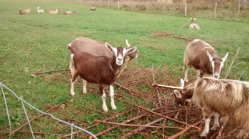 volunteer abroad farmstead Canadian ranch goats
