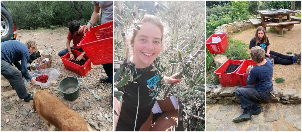 new experience olive harvesting solo female traveller volunteer abroad