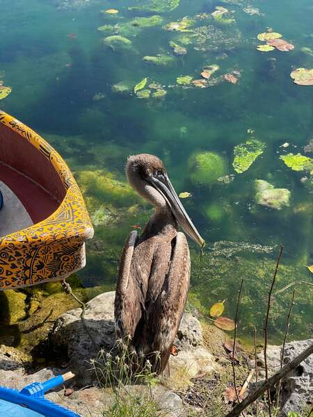 cenote pelican wildlife mexico enjoy nature coexist sustainable eco friendly travel volunteer abroad